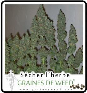 récolte de cannabis