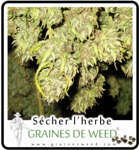 secher cannabis