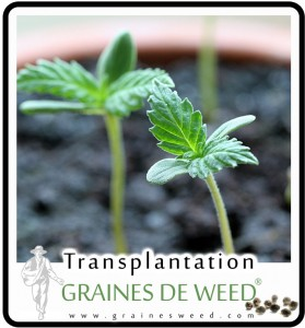 transplantation de cannabis