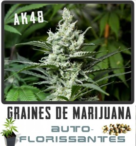 cannabis-auto-florisant-ak48