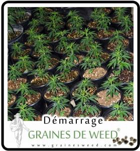 La graine de cannabis nain