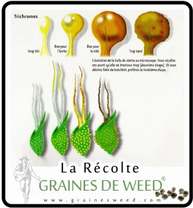 quand-recolter-cannabis