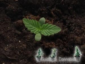 Les prémieres feuilles du cannabis autoflo