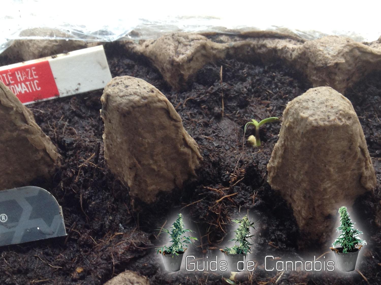 La germination de cannabis autoflo guide de cannabis - Arrosage gazon apres semis ...