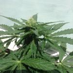 Cannabis Outdoor Aulo-fleur