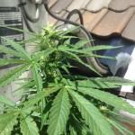 Cannabis a coté airco