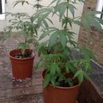 Grêle et cannabis