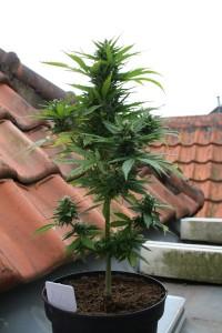 Cannabis-Autofloraison-recolte2