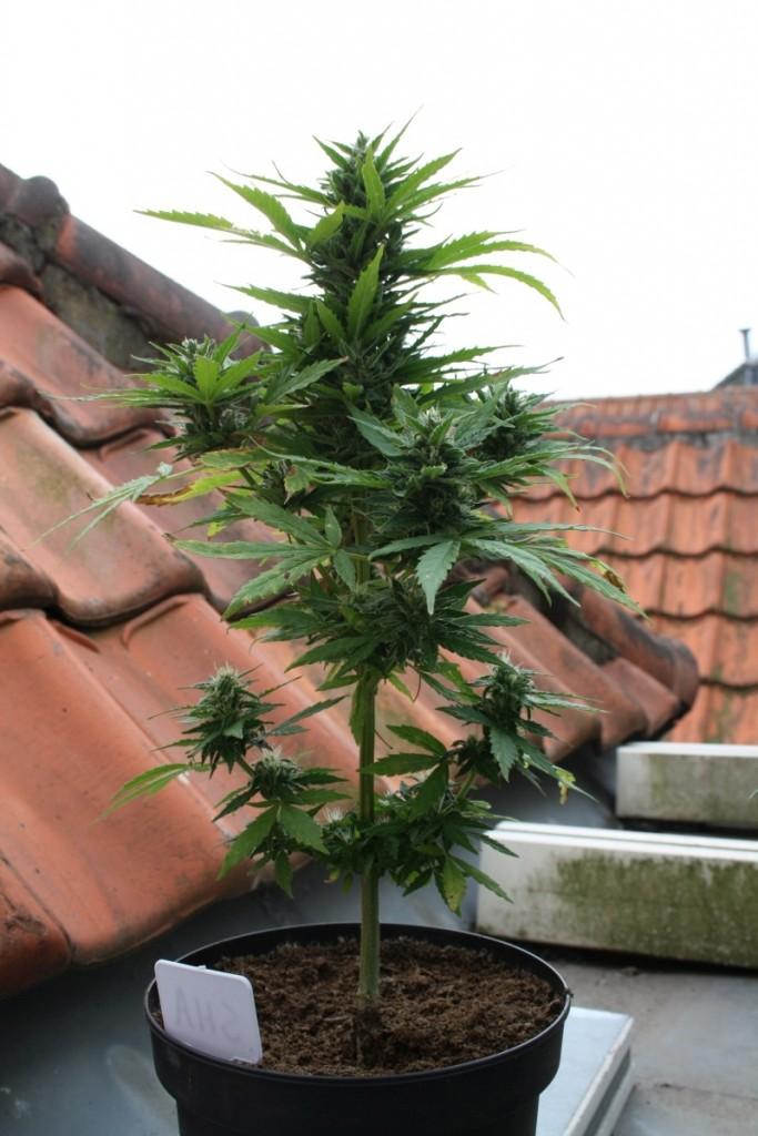 cannabis autofloraison quand recolter guide de cannabis. Black Bedroom Furniture Sets. Home Design Ideas