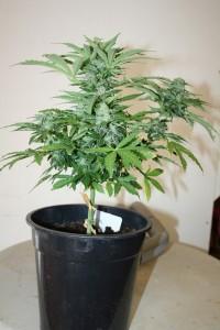 Cannabis-Autofloraison-recolte7