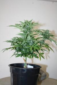Cannabis-Autofloraison-recolte8
